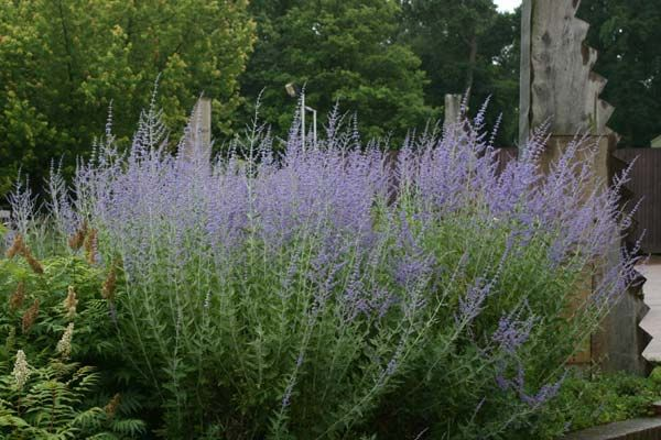 Russian sage Perovskia 'Blue Spire' Bee's love them. Would be great to line the drive with.