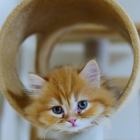 今日もまったりマンチカン4兄妹 の画像|マンチカンズと仲間たち(短足猫のマンチカンの画像と動画) Munchkin kitten