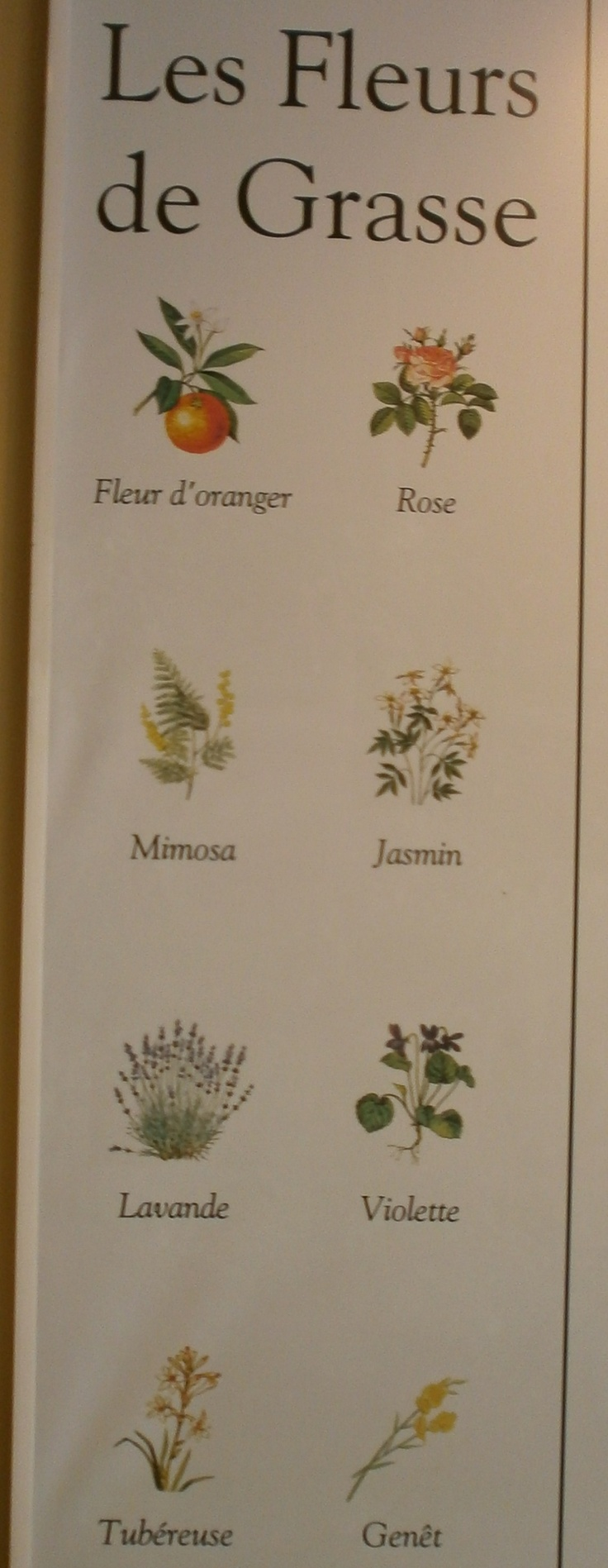 In a display in the Fragonard laboratory eight flowers are listed as 'The flowers of Grasse', i.e. Orange blossom, Rose, Mimosa, Jasmine, Lavender, Violet, Tuberose and Broom.