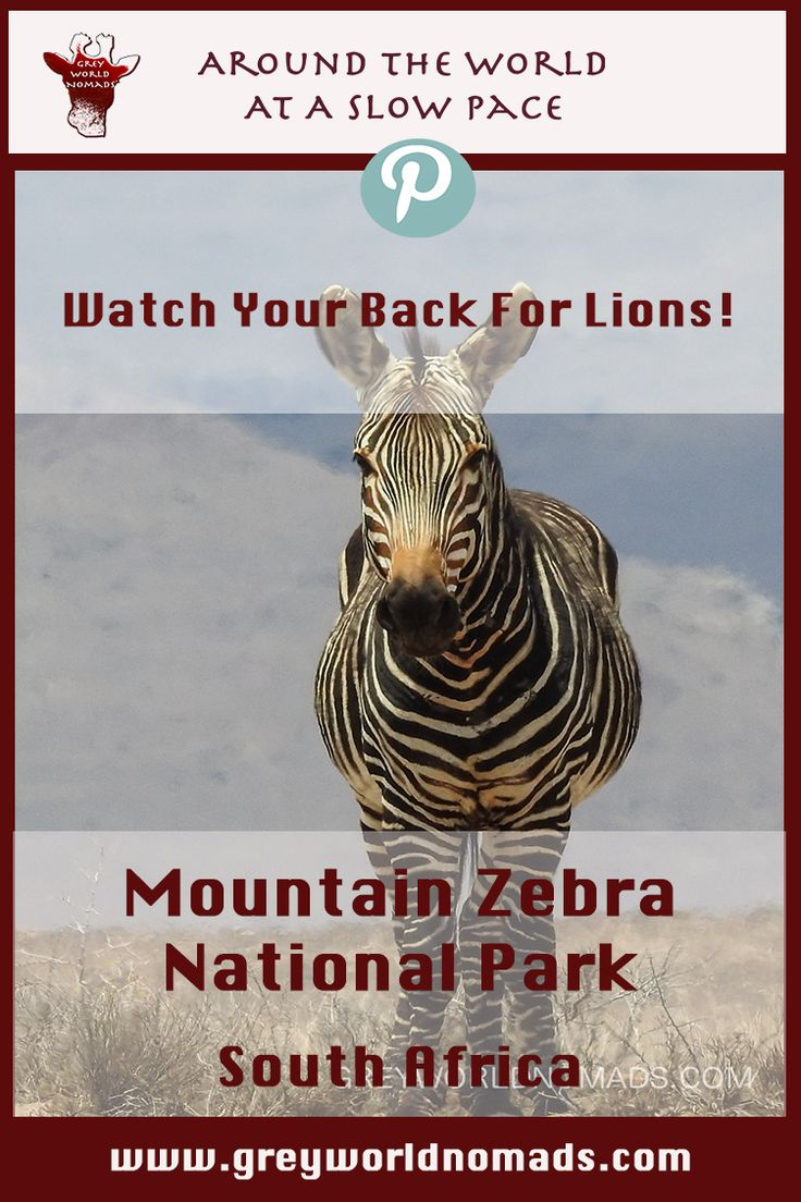 The Mountain Zebra National Park was founded to save the remaining herd of the few Cape Mountain Zebras in the Karoo near Cradock, South Africa.