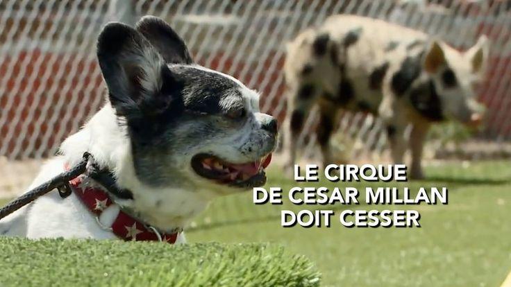 Pétition · National Geographic: Empêchez César Millan de continuer son cirque à la télévision · Change.org