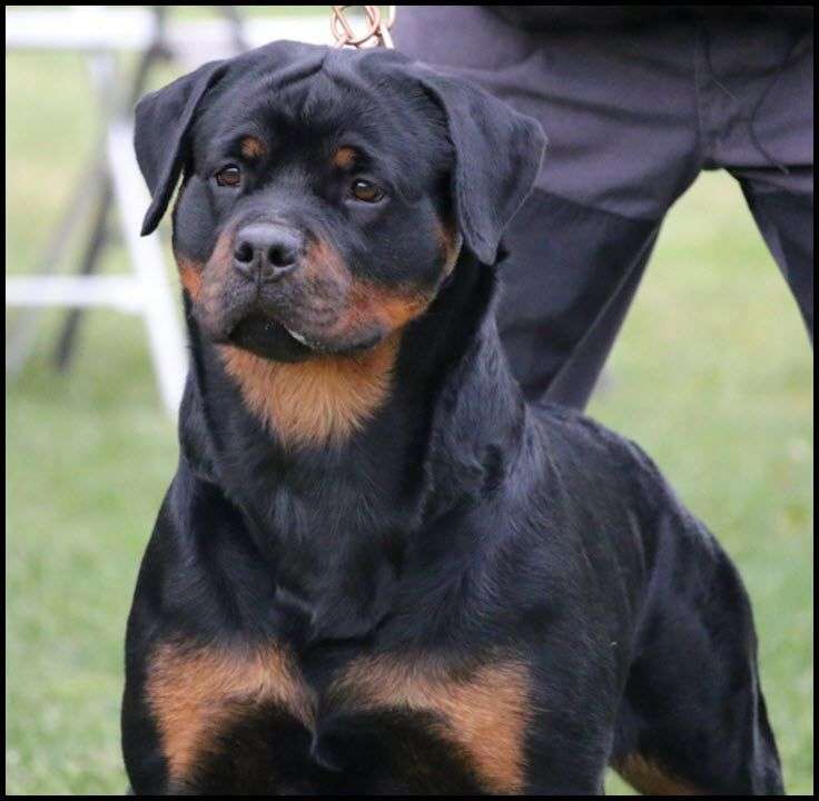 Vom Haus Burns Rottweiler Kennel Olympia Wa Usa Litters