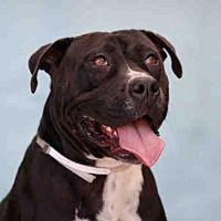Downey, California - Pit Bull Terrier. Meet ALLY, a for adoption. https://www.adoptapet.com/pet/21015611-downey-california-pit-bull-terrier