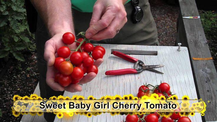 End of Season Tomato Variety Garden Tour Tutorial