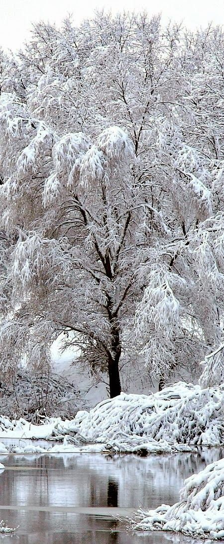 Tree after heavy snowfall