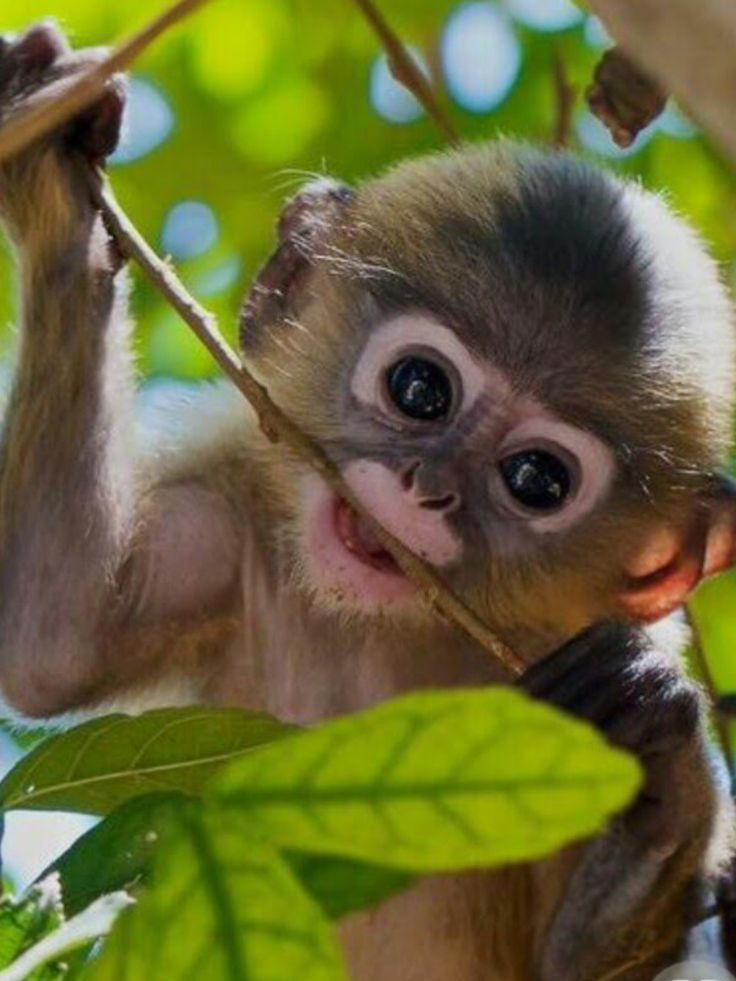 1140 best monkey business images on pinterest monkeys orangutans i dunno what kind of monkey this is but its so cute voltagebd Choice Image