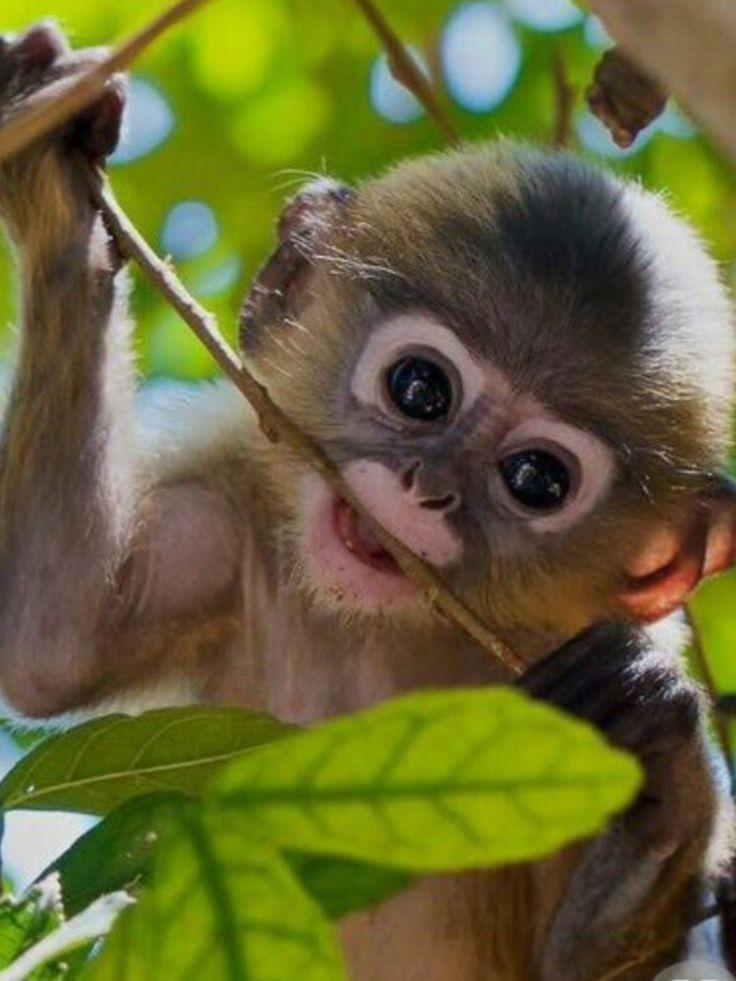Best 25 monkey smiling ideas on pinterest monkeys pictures of best 25 monkey smiling ideas on pinterest monkeys pictures of monkeys and baby orangutan voltagebd Images