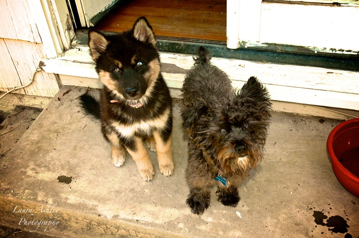 husky wolf mix and yorkie poodle mix