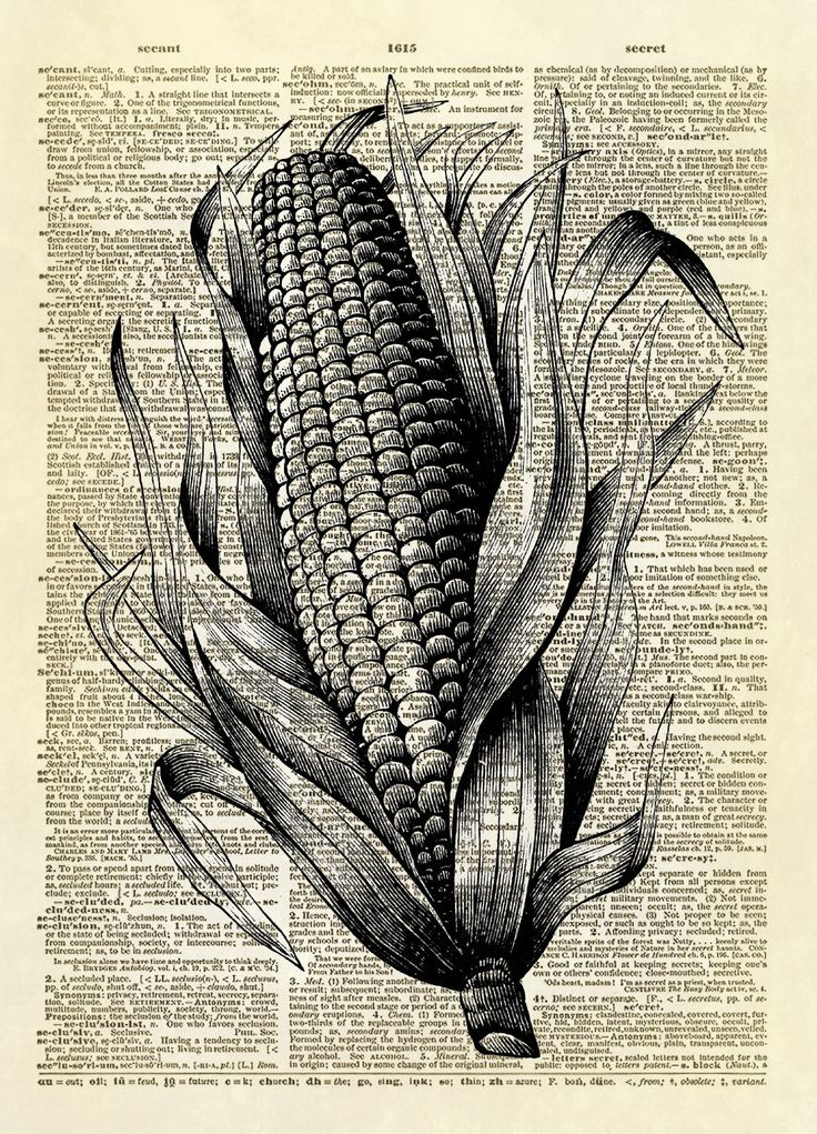 This print features a detailed antique illustration of an ear of corn from a late 1800's publication. It would be a wonderful addition to any farmhouse decor and would be lovely in a kitchen or dining