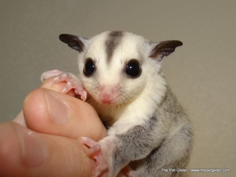 2667 best images about gliders on Pinterest  Sugar glider care ...