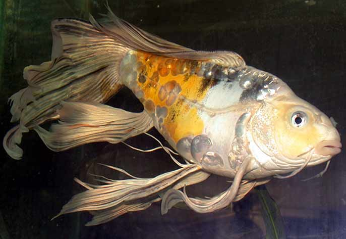 Extra fancy butterfly koi down under pinterest for Black butterfly koi fish for sale
