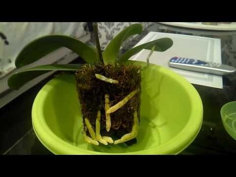 Орхидея после омоложения))) - YouTube