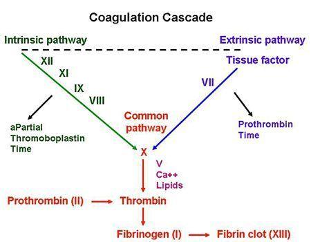 coagulation cascade