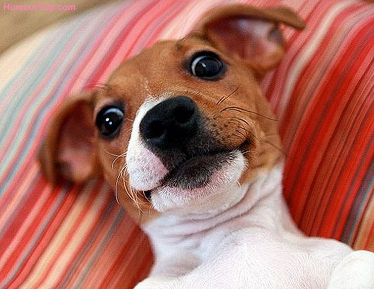 Chiot Jack Russell selfie