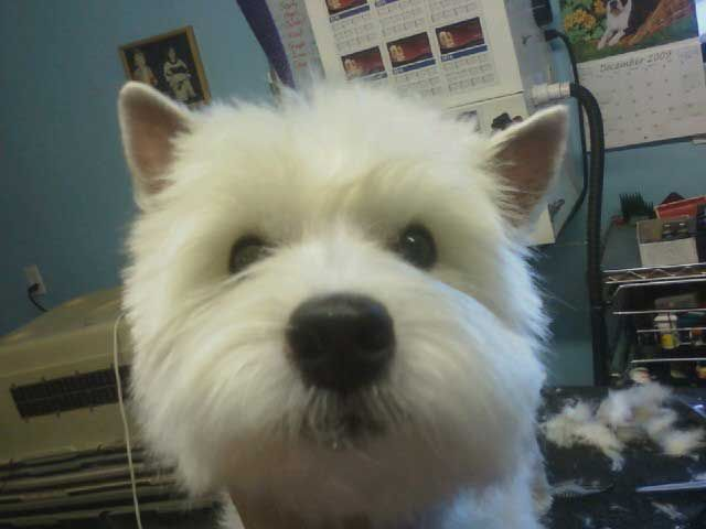 West Highland Terrier Grooming Styles Love This Length