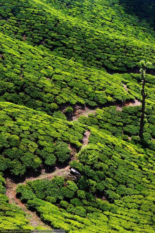 Tea Plantations ~ Kerala, India