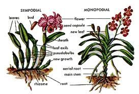Orchid types by growth: sympodial monopodial orchid. Finally! I know the names and difference between the two types.