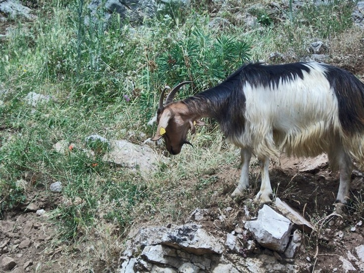 una capra pronta per essere munta