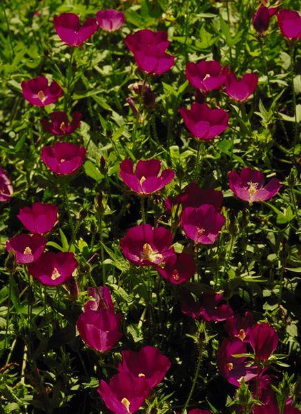 Winecups Botanical Name: Callirhoe involucrata Plant Type ...
