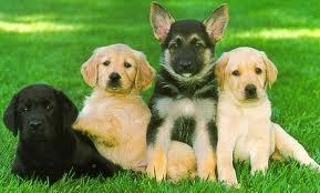 Black Lab Golden Retriever German Shepherd Yellow Lab Puppies