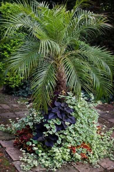 A Large Container With A Specimen Pygmy Date Palm Phoenix