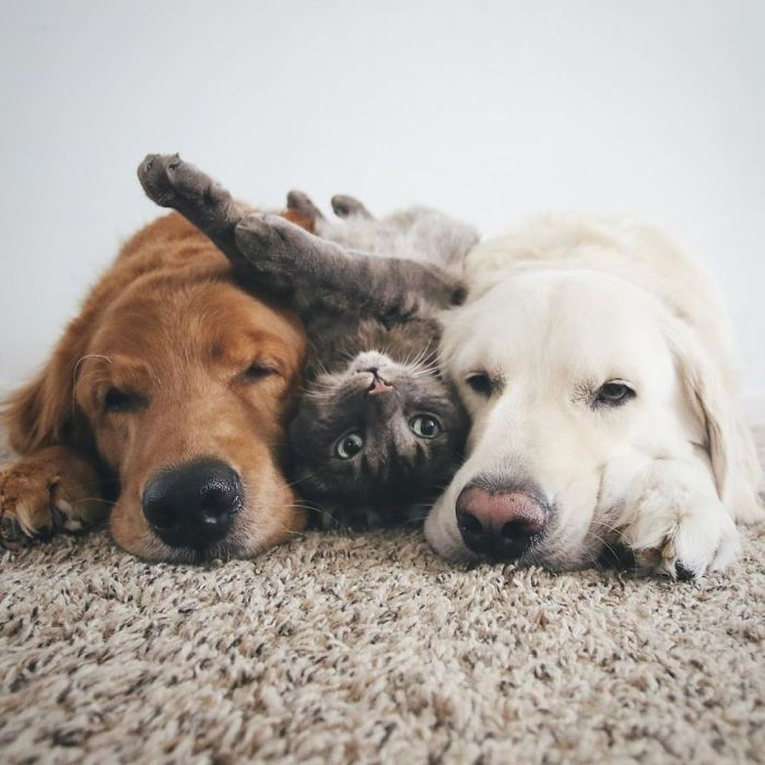 These Two Dogs And Cat Are The Most Adorable BFF Trio Ever