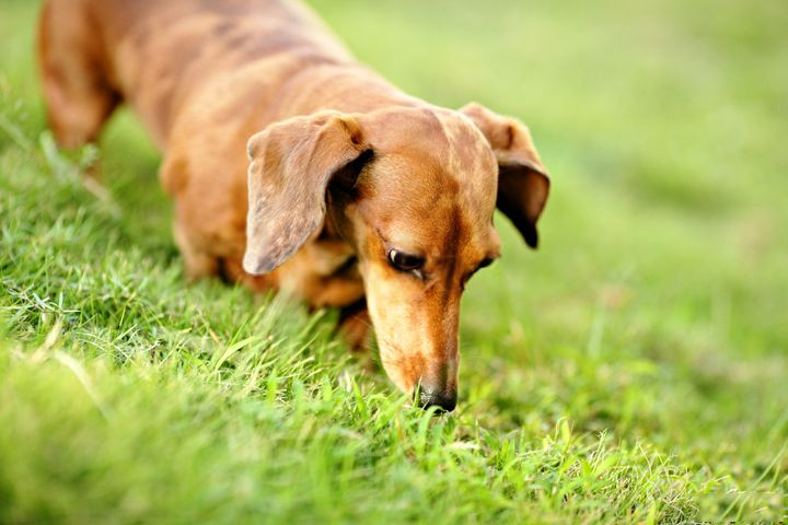 Why Dogs Eat Grass And Weeds Dogs Dog Eating Dogs Eating Grass