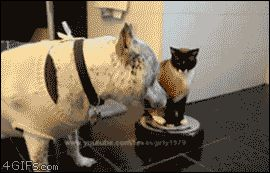 Cat on Roomba Attacks Dog. All bow before robo-cat!. cat, dog, pets, robots, Cats, Animals, dogs, roomba, gif, attack