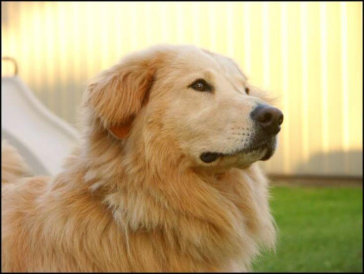 Golden Retriever Chow Mix | Pets | Pinterest