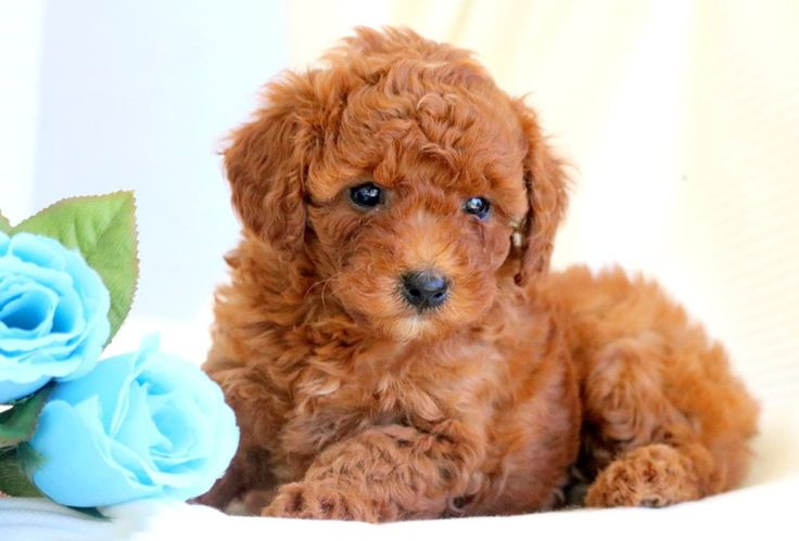 Amber Poodle Toy Puppy For Sale Keystone Puppies Toy Poodle Puppies Puppies For Sale Toy Puppies