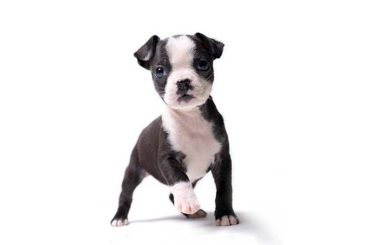 Boston Terrier Puppies For Sale In Tn Boston Terrier Puppy