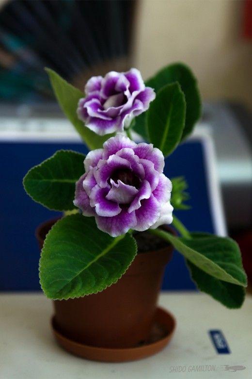Глоксиния для начинающих.  Глоксиния — многолетнее клубневое растение, листья овальные, размером с ладонь, цветки похожи на большие колокольчики (der Gloke — колокольчик), окраска очень разнообразная, кроме жёлтой, есть двухцветные и даже многоцветные сорта; цветёт с весны до осени, одновременно бывают раскрытыми до 10 цветков на одном растении. Фото: © Shido Gamilton