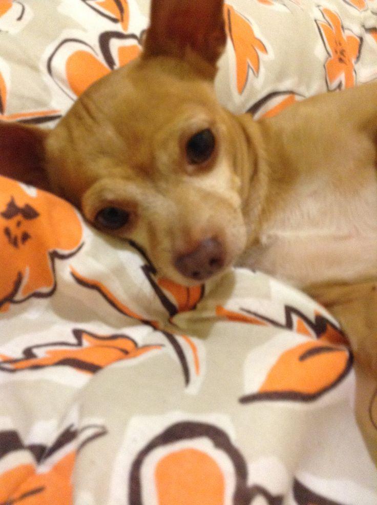Chihuahueño doggie :3 Chillin