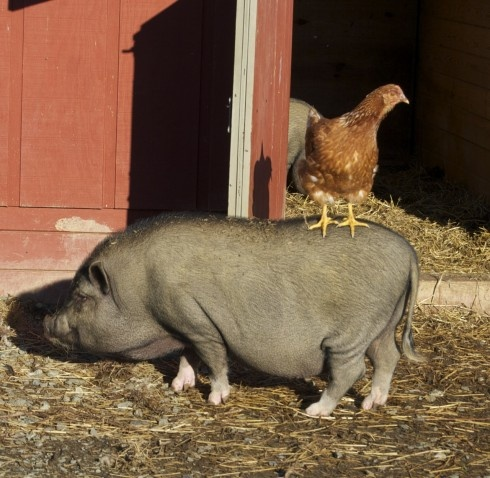 """Love, and he looks just like our """"Orson.""""  I miss hearing the snorting when I walked in the barn.Bacon Eggs, Chicken Bacon, Pigs Farms, Children, Yards Friends, Farms Yards, Blog, Animal Mamm, Animal Farms"""