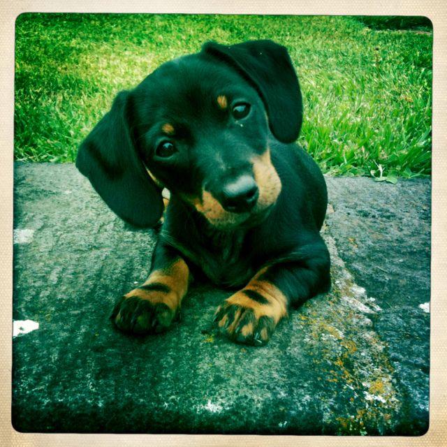 Sausage dog puppy!