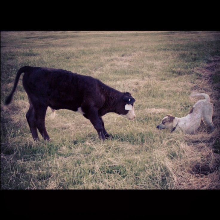 Black baldie calf and my red heeler puppy in a show down