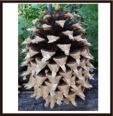 BIG -Coulter Pinecones ( 9 inch)-pine cone, pine cones, pinecone, pinecones, sugar pine, sugar pines, cones crafts, cone craft, craft cone, cone crafts, craft cones, pine cone crafts, pine cones crafts, pinecone crafts, sugar cones, pine cones for crafts, crafts pine cones, pine cone tree, pine cone decorations, pine cone bird feeder, big cones, pinecone decorations, pine cones decorations, pine cone wreath, pine cone decor, pinecone wreaths, pine cones for sale, pinecone decor, pine cones…