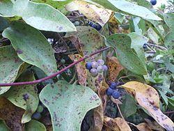 Cocculus orbiculatus3.jpg