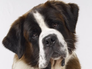 St Bernard, another huge dog. My Papaw had a dog that was part St Bernard once, ever since then I've liked them..