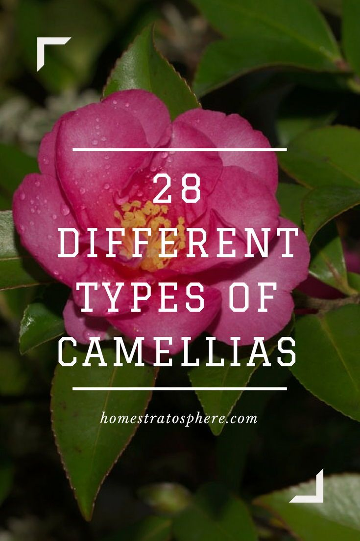 28 Different Types Of Camellias Camellia Flower Camellia Beautiful Flowers Garden