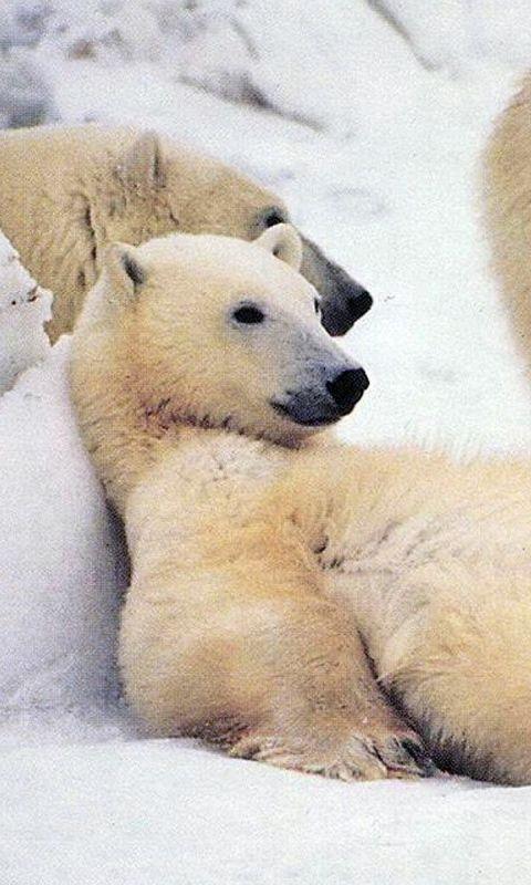 Download Wallpaper 480x800 Bear, Polar bear, Family, Snow, Waiting, Fur HTC, Samsung Galaxy S2/2, Ace 480x800 HD Background