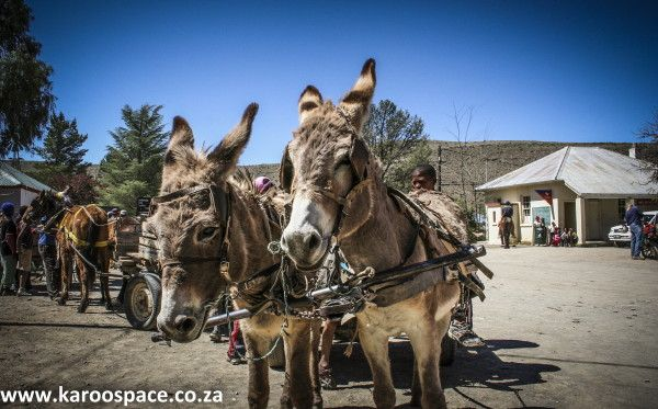 There's more to Karoo donkeys than a couple of hee-haws and a pair of twitching ears.