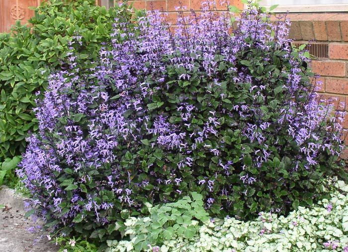 Plectranthus Mona Lavender - Google Search Will wOkr in Shade