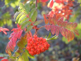Madárberkenye (Sorbus aucuparia) - Sorbus aucuparia, sorbier