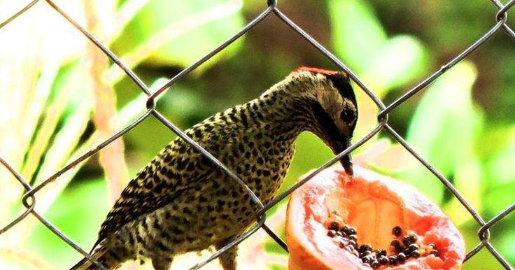 Pica-pau-verde-barrado é flagrado por sociólogo em bairro de Campinas
