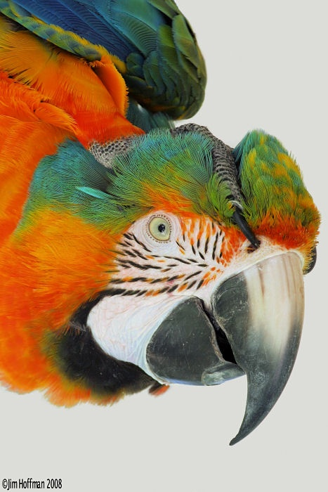 "We have a macaw very much like this one. Some lighter feathers on his leather, though. Ours is a hybrid, called ""Hawaian Sunset."""