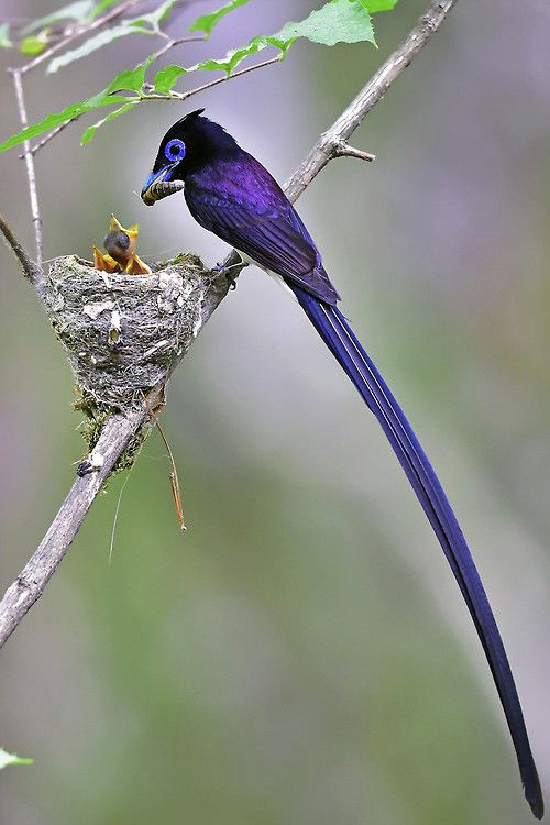 fairy-wren:  Black Paradise Flycatcher (Terpsiphone atrocaudata) male with chick, South Korea photo by Young Sung Bae