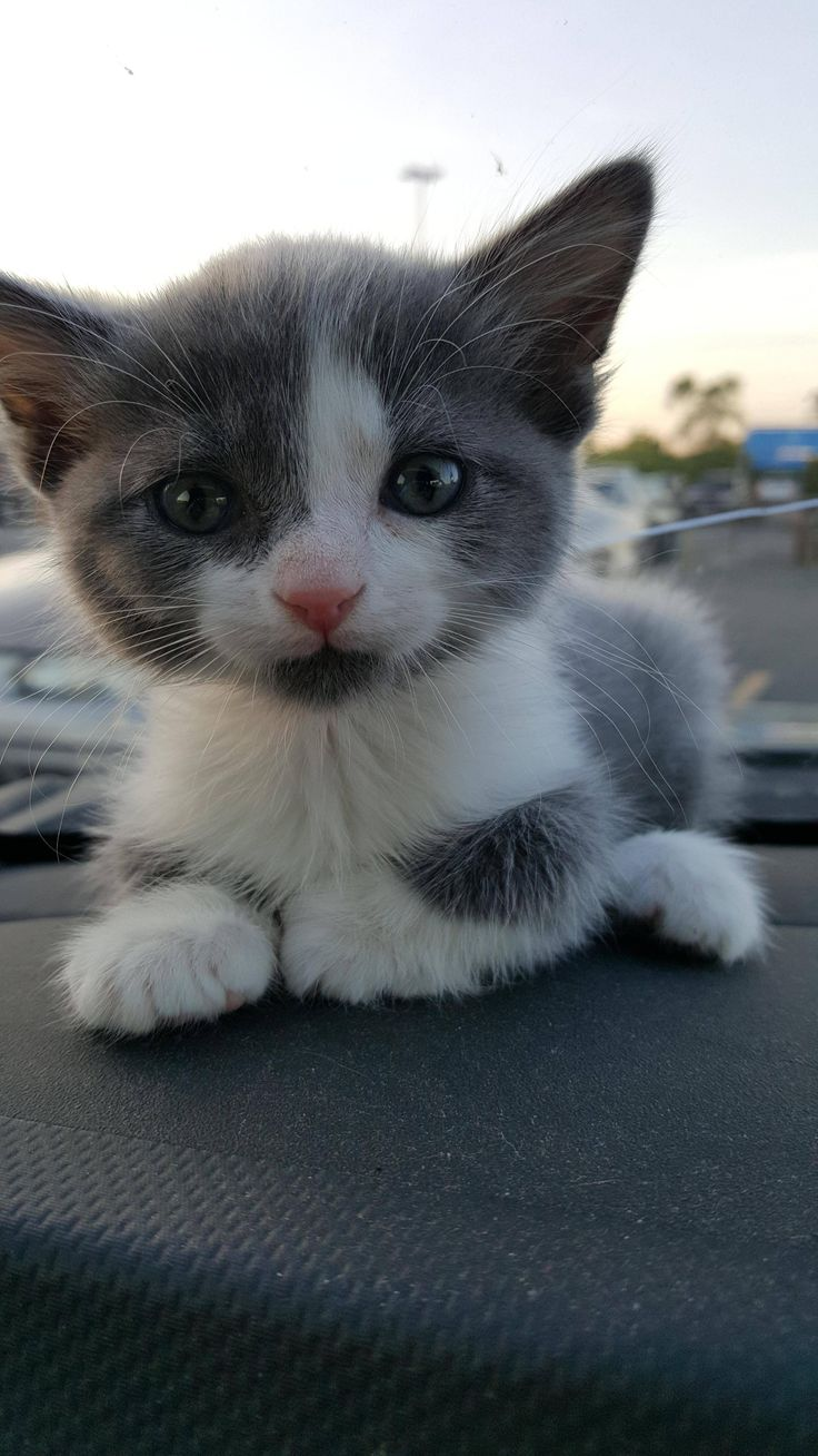 Hey Reddit, meet Tyrion! (With images) Cute cats and