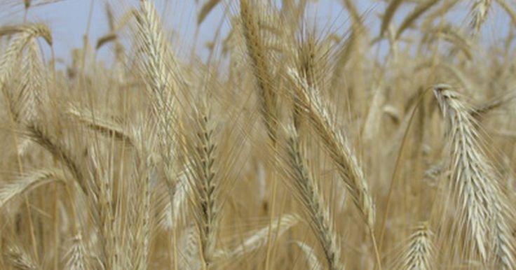 Condiciones del clima para el cultivo de trigo. El trigo es una planta peculiar. Lo que realmente hace sus intenciones conocidas por el tipo de cultivo producido bajo un clima ideal y climatizador. En particular, el trigo de invierno se nutre de las bajas temperaturas. Esta es la vernalización o período de germinación en la preparación para la producción de un cultivo en la primavera. El ...