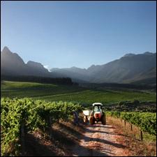 Stellenbosch Vineyard.